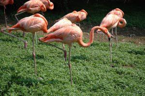 Flamingos auf einem Bein schlafend