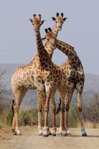 Drei Giraffen schauen in die Kamera