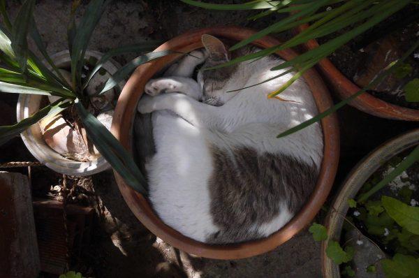 Eine Katze schläft eingerollt im Blumentopf