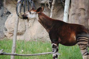 Ein Okapi lässt sich das Heu schmecken