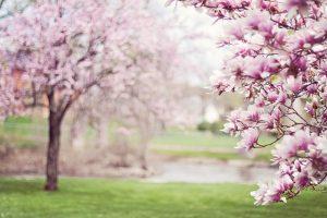 Blühende Obstbäume im Frühling