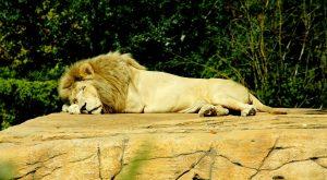 Ein Löwe schläft auf Stein