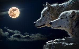 Zwei Wolfe schauen sich den Vollmond an