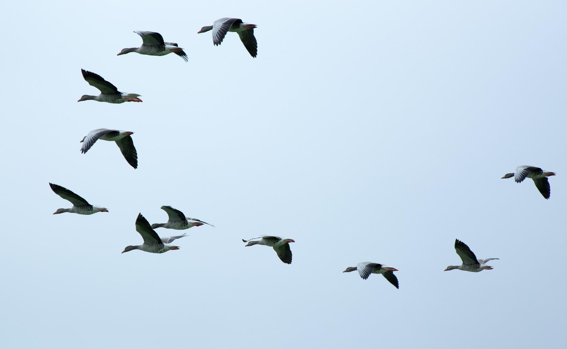 Zugvögel unterwegs in den Süden